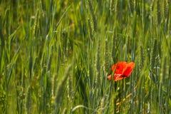 Rode papaver op groen gebied De dag van veteranen Landbouw Landschap Stock Afbeelding