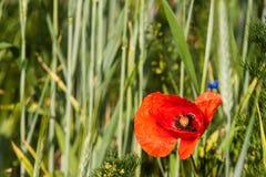 Rode papaver op groen gebied De dag van veteranen Landbouw Landschap Royalty-vrije Stock Foto's