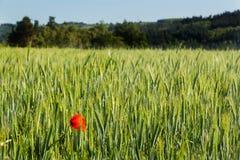 Rode papaver op groen gebied De dag van veteranen Landbouw Landschap Stock Foto