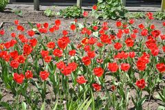 Rode papaver: - royalty-vrije stock afbeeldingen