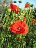 Rode papaver tegen groen gras en blauwe hemel Stock Fotografie