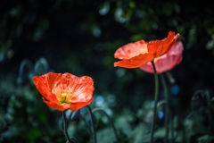 Rode Papaver twee Stock Foto