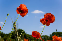 Rode papaver in weide stock foto's