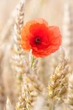 Rode papaverbloem Stock Afbeelding
