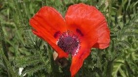 Rode papaverbloem stock videobeelden