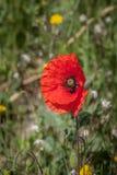 Rode papaverbloem Stock Afbeeldingen