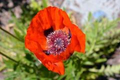 Rode papaverbloem in bloei Stock Foto
