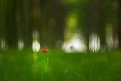 rode papaverbloem in een bos van de populierboom royalty-vrije stock afbeeldingen