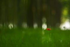 rode papaverbloem in een bos van de populierboom stock afbeeldingen