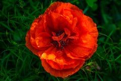 Rode papaverbloem op aardachtergrond Hoogste mening Stock Foto's