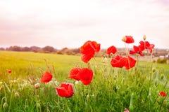 Rode papaverbloemen Royalty-vrije Stock Afbeelding