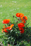 Rode papaverbloemen Stock Afbeeldingen