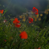 Rode papaverbloemen stock foto's