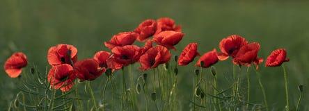 Rode papaverbloemen Stock Foto
