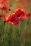 Rode papaverbloemen Royalty-vrije Stock Afbeeldingen