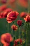 Rode papaverbloemen Stock Afbeelding