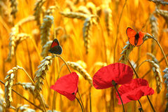 Rode papaverbloemen Royalty-vrije Stock Foto's