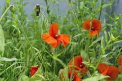 Rode papaverbloemen en groen gras Royalty-vrije Stock Foto