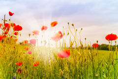 Rode papaverbloemen en zonnestralen Stock Foto's