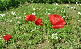 Rode papaverbloemen - Eutopia-Tuinen Stock Afbeeldingen