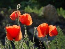 Rode papaverbloesems Royalty-vrije Stock Fotografie