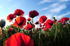 Rode papavers Royalty-vrije Stock Fotografie