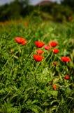 Rode papavers Royalty-vrije Stock Afbeelding