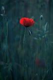 Rode papavers Royalty-vrije Stock Foto