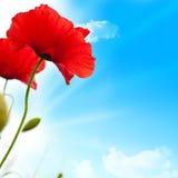Rode papavers, blauwe hemel Stock Foto