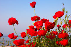 Rode papavers en blauwe hemel en overzees Royalty-vrije Stock Afbeeldingen