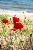 Rode papavers en blauwe hemel en overzees, Bakcground royalty-vrije stock foto's