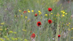 Rode papavers en gele bloemen op een achtergrond die van groen gras in de wind blazen stock footage