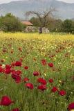 Rode papavers, gele bloemen royalty-vrije stock foto