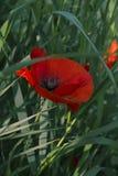 Rode papavers in het gras Stock Foto