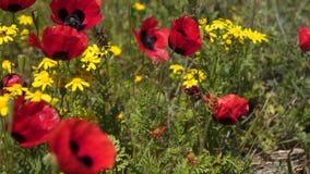 Rode papavers onder wildflowers en kruiden stock footage
