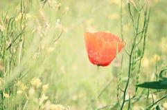 Rode papavers op een de zomerweide op een zonnige dag Royalty-vrije Stock Foto's