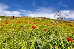 Rode papavers op een groen gebied stock afbeelding