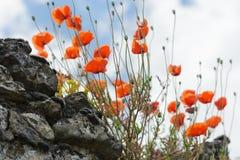 Rode papavers op een oude steenmuur Stock Fotografie