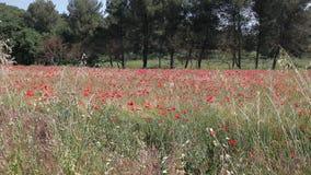 Rode papavers op een tarwegebied in de Provence stock videobeelden