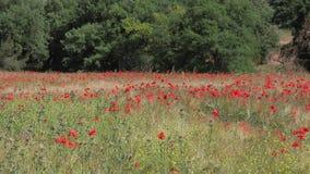 Rode papavers op een tarwegebied in de Provence stock video