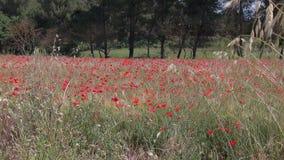 Rode papavers op een tarwegebied in de Provence stock footage
