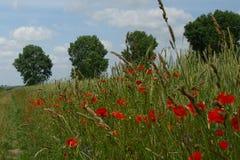Rode papavers op het landbouwgebied stock afbeelding