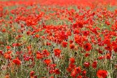 Rode Papavers in Wilde Poppy Fields Stock Foto's