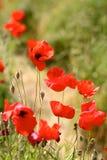 Rode Papavers in Wilde Poppy Fields Stock Afbeelding