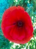 Rode papaversbloei op de zomergebied stock afbeeldingen