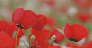 Rode papaversbloei op het gebied, close-up stock footage