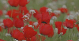 Rode papaversbloei op het gebied, close-up stock videobeelden