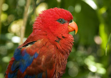 Rode Papegaai Stock Afbeelding
