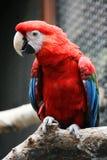 Rode papegaai Stock Afbeeldingen