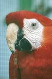 Rode papegaai Stock Foto's